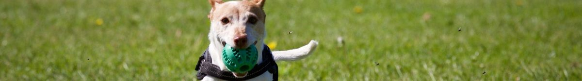 Dog running toward the viewer with a pet toy